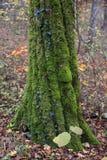 Mossa på träd i skogen i höst Royaltyfri Foto