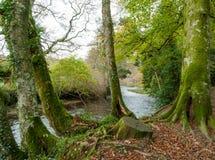 Mossa på trädstammar vid floden Fowey Royaltyfri Fotografi