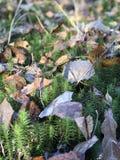 Mossa skog, höst, sidor, i solen, vegetation arkivbild