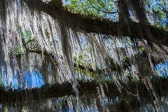 Mossa som hänger från träd Royaltyfria Bilder