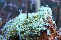 Mossa som täckas med vit frost som växer på en stam arkivbilder