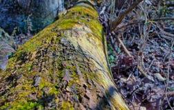 Mossa som växer på ett träd Fotografering för Bildbyråer