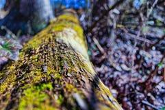 Mossa som växer på ett träd Royaltyfri Bild