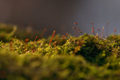 Mossa & Sporangium arkivfoton