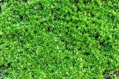 MOSSA - Stängd up/macro sköt av mossigt av den tropiska sorten Arkivfoto