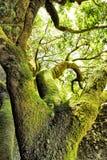 Mossa-täckt träd Royaltyfri Fotografi
