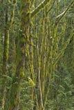 Mossa täckte träd i en blandad skog, nära Squamish, British Columbia, Kanada royaltyfri foto