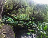 Mossa täckte trädet som hänger över dammet i porslin Royaltyfri Bild