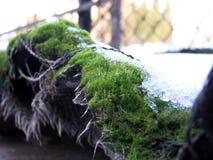 Mossa under snö Arkivfoton
