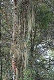 Mossa växer på ett träd i en skog nära Paro (Bhutan) Arkivfoto