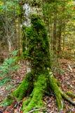Mossa växer på träd Mossatextur med höstsidor royaltyfri bild