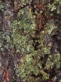 Mossa växer tungt på skället av detta träd och skapar en lockande textur royaltyfria bilder