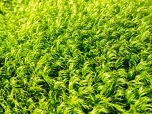 Mossafibrer Arkivfoto