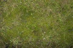 Mossagräsplan Royaltyfri Bild