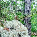 Mossagräsplan i för South Carolina för skog för pinjeskogsandkullar fractals för natur closeup Arkivbilder