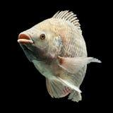 Mossambicus Oreochromis στοκ φωτογραφία
