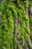 Mossan på trädskället Arkivfoto