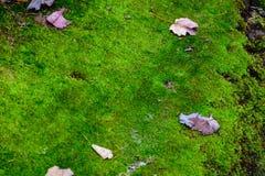 Mossatextur med höstsidor Mossigt gräs royaltyfri foto