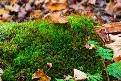 Mossatextur med höstsidor Mossigt gräs Royaltyfria Bilder