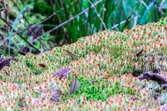 Mossavitmossasp, vildblomma i rainforest på den Doi Inthanon nationalparken i Chiang Mai, Thailand Arkivbild