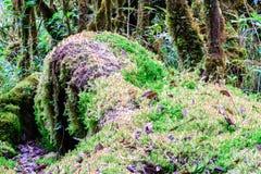Mossavitmossasp, vildblomma i rainforest på den Doi Inthanon nationalparken i Chiang Mai, Thailand Royaltyfri Bild