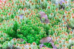 Mossavitmossasp, vildblomma i rainforest på den Doi Inthanon nationalparken i Chiang Mai, Thailand Arkivbilder