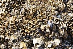 Mosselen en eendenmossel Stock Foto