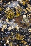 Mosselen en eendenmosselen bij hoogtijd Stock Foto