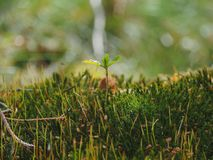 Mosses are small flowerless plants. Gametophytes are the low, leaf-like forms and sporophytes are the tall, stalk-like forms. stock photography