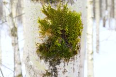 Mosses are a group of higher plants. Characterized by this complex structure and variety that formed a science, to study them. Mosses-ancient and important Royalty Free Stock Image
