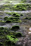 Mosses clumps Stock Image
