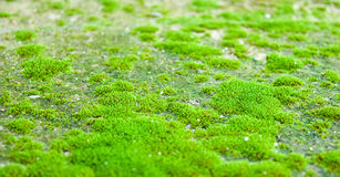 Mosses are grown up on the ground. Mosses are grown up on the ground in the rainy season, look beautiful and fresh stock photography