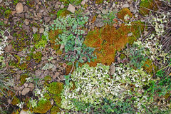 Mosses and lichens Royalty Free Stock Image