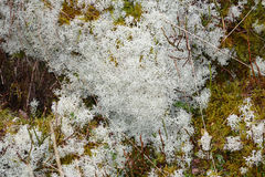 Mosses and lichens Royalty Free Stock Photos
