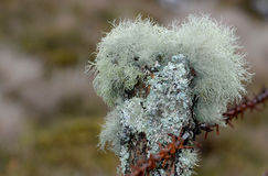 Mosses and lichens Royalty Free Stock Photography
