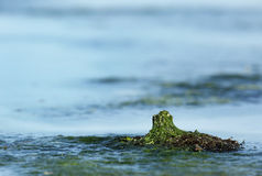 Mosses and seaweeds during low tide in a sea coast of Bahrain Royalty Free Stock Images