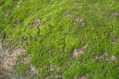 Mosses are small flowerless plants in a nature Royalty Free Stock Images