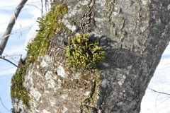 Mosses are small flowerless plants that typically grow in dense green clumps or mats. Often in damp or shady locations. The individual plants are usually Stock Photography