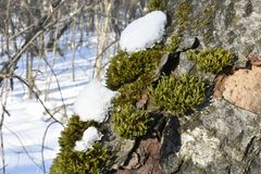 Mosses are small flowerless plants that typically grow in dense green clumps or mats. Often in damp or shady locations. The individual plants are usually Royalty Free Stock Image