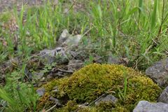 Moss Growing over Rocks royalty free stock images