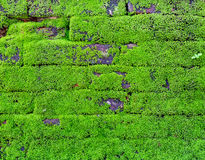 Mosses on a stone wall of ruin. Mosses are flowerless plants belonging to the division Bryophyta Stock Images