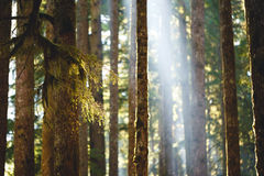 Mosses on Trees. Mosses hanging on tree branches with light ray in background Royalty Free Stock Photo