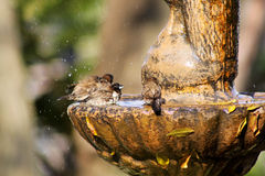 Mossies Afternoon Bird Bath Bathing. Small Mossie Birds Taking Afternoon Bath in Bird Bath Stock Images