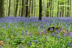 Mossig stubbe för träd i blomningskogen Hallerbos Belgien Arkivfoto