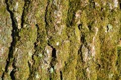Mossig tapet för trädskäll Royaltyfri Foto