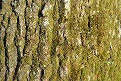 Mossig tapet för trädskäll Royaltyfri Bild