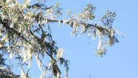 Mossig trädfilial på en solig dag arkivfilmer