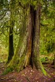 Mossig trädstam i regnskog för gammal tillväxt i den Vancouver ön, Royaltyfri Foto
