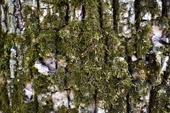 Mossig trädtextur Royaltyfri Bild