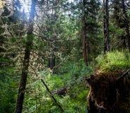 Mossig undervegetation i bergskog Arkivfoton